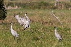 Shandhill Crane Dance (Jay Paredes) Tags: bird crane sandhillcrane antigonecanadensis limpkin aramusguarauna marshtrail arthurrmarshall loxahatchee nationalwildliferefuge nwr boyntonbeach florida