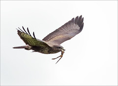 Kermit and buzzard (Vab2009) Tags: buzzard buteobuteo prey frog kermit flight raptor