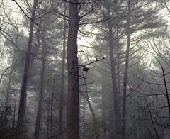 Old Squalls (ss.ess) Tags: f56 400iso portra kodak 65mmf4 push c41 diy selfprocessed develop home scanner epson v550 hike dew mist fog forest nature first newengland winter massachusetts concord waldenpond walden film 120 mediumformat mamiya7ii 7ii mamiya