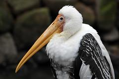 Painted Stork (K.Verhulst) Tags: paintedstork nimmerzat ooievaar stork blijdorp blijdorpzoo diergaardeblijdorp rotterdam birds vogels natureinfocusgroup