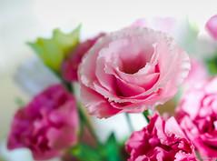 pink prairie gentians (Christine_S.) Tags: pink flowers nature japan bouquet olympus olympusm25mmf18