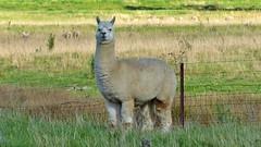 Lama auf Farm bei Mudgee (Sanseira) Tags: australien australia mudgee nsw farm lama tier