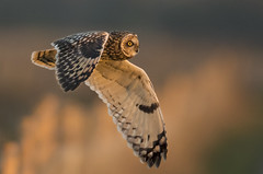 Short-eared owl - Red Shift Owl (Ann and Chris) Tags: avian amazing awesome adorable bird beautiful close feathers flying gorgeous gliding impressive incredible redshift owl shortearedowl stunning wildlife wild wings