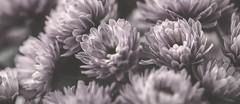 As We Are (Vanessa wuz Here) Tags: 90mm macro macroflowers autumn bw bwmacro flora petals flowers muttartconservatory copyrightvanessabartosek