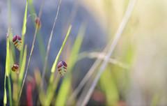 Life goes on... (setoboonhong) Tags: nature outdoors hallsgapbotanicalgarden grampiansnationalpark seeds seedheads grass closeup sunlight evening depthoffield bokeh blur spring travel lifequote