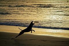 Tel Aviv (Hemo Kerem) Tags: israel telaviv street a7rm2 a7rii nikon200mmf4ai nikkor200mmf4ai ai200mmf4 ai4200 tlv 200mm manualfocus mf nikon nikkor sony sonya7rm2 ilce7rm2 alpha beach seascape sea water dog