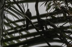 20180908-0I7A1342 (siddharthx) Tags: 2018 august2018 bwcpl badlight beautifulbirds bird birdwatching birding birdinginthewild birdsinthewild blackstone3stopnd blackstone6stopnd blackstonefilters breakthroughphotography breakthroughphotography2stopgnd breakthroughphotography3stopgnd breakthroughphotographyfilter canon canon7dmkii closerange cottoncarrierg3 dawn dawntilldusk ef100400f4556isii ef100400mmf4556lisiiusm ef1635f4lis foggylens forest goldenhour hide humid kesslerkwik lowlight my malaysia novoexplora novoexploramp20 novomonopod pristine promediageartr424lpmgprostix rainforest sachtlerfsb8t sunrise sunset toughlight trek weekendtrips wild wildbirds wildlife winecountrycamera winecountrycameracpl winecountrycamerafilters wildlifewildlifeperfectionwildlifecaptureswildlifephoto chaah johor wildlifewildlifeperfectionwildlifecaptureswildlifephotographyanimalfanaticswildlifeseekersnaturephotographywildlifephotographynatgeowildwildlifeinspiredwildlifecentral creamventedbulbul bulbul