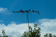 TV Reception Is For The Birds (Northern Wolf Photography) Tags: 14140mm 55mm antenna birds clouds em5 olympus pidgeons sky trees caribou maine unitedstates us