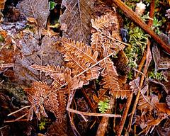 Frosty Fern (rich trinter photos) Tags: middleforksnoqualimieriver taylorriver snoqualmielaketrail washington northwest trinterphotos frost fern winter minimal naturalpattern