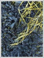 Evening light (adam_pierz) Tags: castlestalker stalker castle scotland oban argyll olympusomd micro43 microfourthirds weed seaweed