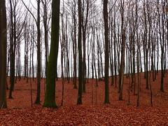 A wintry feeling in Nørreskoven (Landanna) Tags: nørreskoven als sønderjylland zuidjutland denmark denemarken danmark dänemark skov bos forest fallingintoautumn fall autumn autumncolours efterår efterårsfarver herfst herfstkleuren