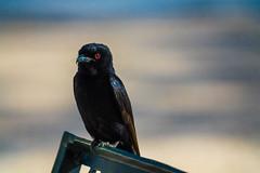 DSC00191 (philliphalper) Tags: namutoni etosha nimabia crow