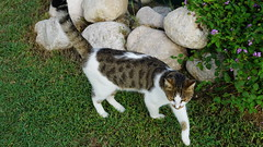 2015-09-20_16-38-27_ILCE-6000_DSC00244 (Miguel Discart (Photos Vrac)) Tags: 2015 67mm animal animalphotography animals animalsupclose animaux cat cats chat chats colakli e1670mmf4zaoss focallength67mm focallengthin35mmformat67mm holiday hotel ilce6000 iso100 kamelya kamelyaworld nature naturephotography pet sony sonyilce6000 sonyilce6000e1670mmf4zaoss summer turkey turquie vacance vacation
