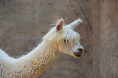 Llama (Lama glama) (Seventh Heaven Photography) Tags: llama glama animal mammal white camelidae nikond3200 emirates park zoo uae united arab lama abu dhabi