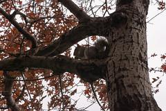 Squirrrel (molybdena) Tags: brooklyn autumn plant tree rodent cloudy newyorkcity bark newyork cobblehill squirrel nyc unitedstates us