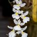 Rodriguezia fragrans – Merle Robboy