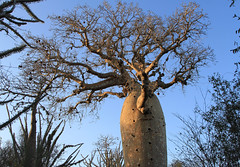 Fony Baobab (Wild Chroma) Tags: reniala madagascar tree baobab flora adansoniarubrostipa adansonia rubrostipa