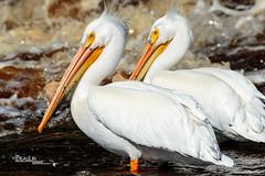 Fishing Pals (Images by Beaulin) Tags: rapidriver wildlife birds pelecanuserythrorhynchos waterbirds clementson americanwhitepelican lakeofthewoodscounty minnesota
