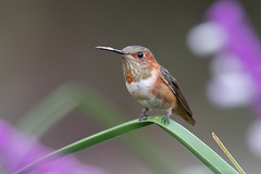 Allen's Hummingbird (X8B_1762-1) (Eric SF) Tags: allenshummingbird hummingbird losangelesarboretum arcadia california