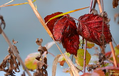 Flora am Main (diwe39) Tags: herbstblätter main karlstadt winter201819