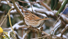 Song Sparrow (wvsawwhet) Tags: westvirginia wv westvirginiabirds wildlife winter bird birding birds birdwatching birdsofwestvirginia marioncounty sparrow songsparrow
