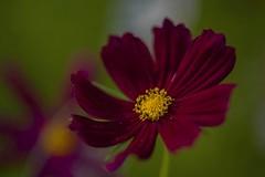 Summer memories ... (milance1965) Tags: red rot macro bokeh cosmea schmuckkörbchen cosmos garten sommer sonne nikon nikond700 nikkor105mm nikonmicro