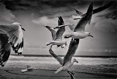 Fastest Wins (Peter Polder) Tags: au australia beach clouds exterior seascape sea sky monochrome mono ocean sydney skyline surf waves water bird birds
