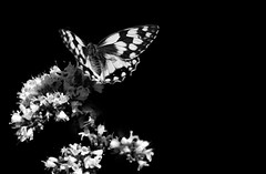 Dilluns amb flors i un bitxo/ Monday with flowers and a bug (PURIFM) Tags: butterfly mariposa flowers whiteandblack nature nikon balance ngc