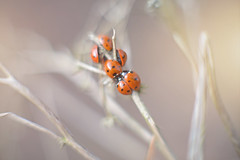 Slumber Party... (KissThePixel) Tags: ladybugs ladybirds bug bugs winter insect winterwalk woodland wildlife winterscene winterflora branch january cold nature makro macro closeup nikon 50mm bokeh focus nikondf 12 f12 light