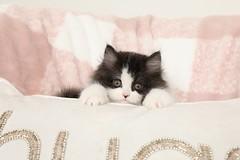 Cute Kitten (dollfacepersiankittens.com) Tags: kittens for sale doll face persian kitten cats cat catsofinstagram catpictures kittensofinstagram kittenpictures trisha johnson tegan luxury feline animals pets