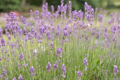 jungle (fabri45) Tags: lavande fleurs flowers nikon d3300