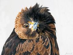 Golden Eagle Topsy Turvey IMG_2584_edited-1 (Jennz World) Tags: ©jennifermlivick canadianraptorconservancy vittoria ontario canada goldeneagle eagle raptor