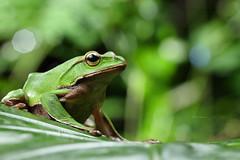 2J4A8062 (ajstone2548) Tags: 12月 樹蛙科 兩棲類 翡翠樹蛙