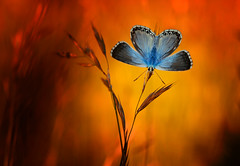 Adventure nature (♥ ⊱ ╮Juergen╭ (mostly off/ PC down and att) Tags: nature butterfly commonblue colorful sunlight nikon