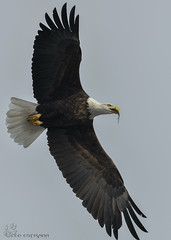 Bald Eagle with fish. (Estrada77) Tags: baldeagle eagle bald raptors birdsofprey distinguishedraptors wildlife birds birding inflight illinois foxriver winter2019 feb2019 outdoors nature nikon nikond500200500mm animals mchenrycounty