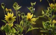 August in the Garden (Mark Wordy) Tags: mygarden flowers rudbeckiaherbstonne