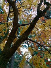 koyo gradients (deziluzija) Tags: autumnleaves koyo kyotogyoen