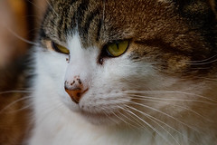 Stalking (Mikon Walters) Tags: cat kitten kitty close up stalking nikon d5600 sigma 150600mm contemporary super zoom lens photography 600mm england britain pet garden outdoors animals animal nature outside cute fluffy whiskers white black brown
