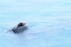 Solice (richardsolway) Tags: seal animal nature rock seaside water stone tide cornwall rivercove