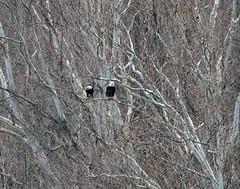 verbal eagle (foxtail_1) Tags: haliaeetusleucocephalus eagle eagles baldeagle panasonicg9 lumixg9 g9 bluestonelake eaglecount