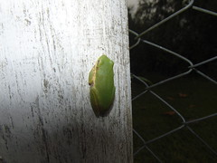 Green Tree Frog (crocfan20) Tags: animals amphinian frogs greentreefrog puffyspics21