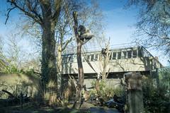2019-01-18-12h46m13.IMG_3361 (A.J. Haverkamp) Tags: akili bembosi canonefm1855f3556isstmlens amsterdam zoo dierentuin httpwwwartisnl artis thenetherlands gorilla pobfrankfurtgermany dob16101994 pobamsterdamthenetherlands dob31052011 boom tree