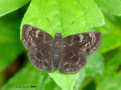 probably Ouleus panna (LPJC) Tags: skipper butterfly panama 2018 lpjc quebradagarza ouleuspanna