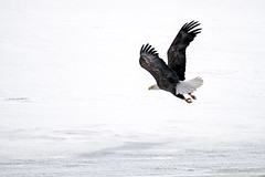 Bald Eagle flying off the ice on the Mississippi River, St Paul MN (Lorie Shaull) Tags: mississippiriver stpaul minnesota winter snow baldeagle bird birdwatching haliaeetusleucocephalus birdofprey seaeagle
