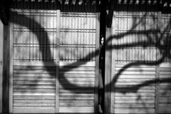 *** (Misha Sokolnikov) Tags: shadow tree ryokan japan noiretblanc blackandwhite leica leicamonochrom 50mm aposummicron