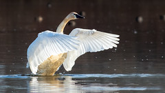Tundra Swan (Gary R Rogers) Tags: bird birds whistlingswan fernhill tundraswan lake swan water