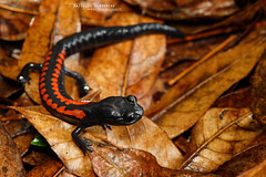 Isthmura gigantea (Matthieu Berroneau) Tags: giant false brook salamander giantfalsebrooksalamander salamandra falsa gigantesca del arroyo salamandrafalsagigantescadelarroyo trip mexique sony alpha macro nature france herpéto wildlife animal animaux ff 24x36 full frame a7ii 7ii 7mk2 sonyilce7m2 herping herpeto sonya7ii sonya7mk2 sonyalpha7mark2 sonyalpha7ii 90 28 fe f28 g oss fe90f28macrogoss sonyfesonyfe2890macrogoss objectifsony90mmf28macrofe sel90m28g amphibia caudata urodèle mexico