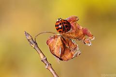 Getting Ready to Fly Away (Vie Lipowski) Tags: ladybug ladybird ladybeetle mapleleaf insect bug beetle leaf autumn garden backyard wildlife nature macro
