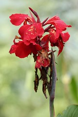 Canna red flower (Nagarjun) Tags: pelling sikkim northeastindia greenery nature village walk ruralindia nepali