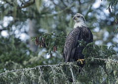 Bald Eagle - Little Qualicum (Photos_By George) Tags: littlequalicum bird raptor eagle baldeagle birdofprey